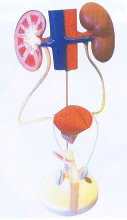 男性泌尿系统模型