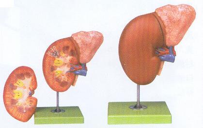 右肾的剖面结构图