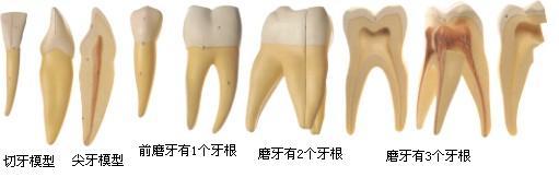 功能特点:该模型由切牙剖面、尖牙剖面、前磨牙、磨牙剖面等11个部件组成,并显示切牙、尖牙、前磨牙、磨牙(下颌两个牙根和上颌三个牙根)等结构,共有切牙7个部位,尖牙7个部位,前磨牙4个部位,两个牙根磨牙9个部位,三个牙根磨牙8个部位等指示标志 尺寸:牙放大约8倍 材质:进口PVC材料,进口油漆,电脑配色,高级彩绘 GD/B10004/1 切牙模型 80元/个 高17.